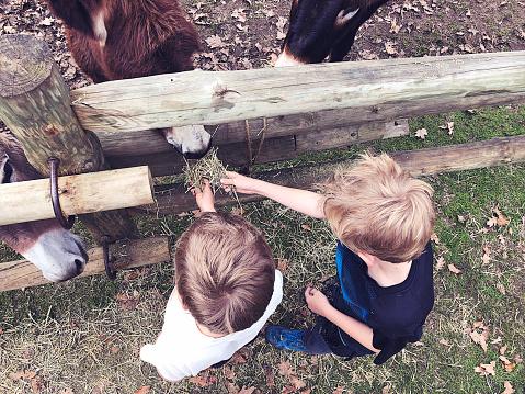 Feeding donkeys straw directly above