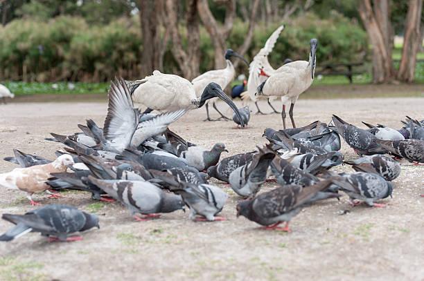 Feeding Dove in Sydney park with rice. Australia stock photo