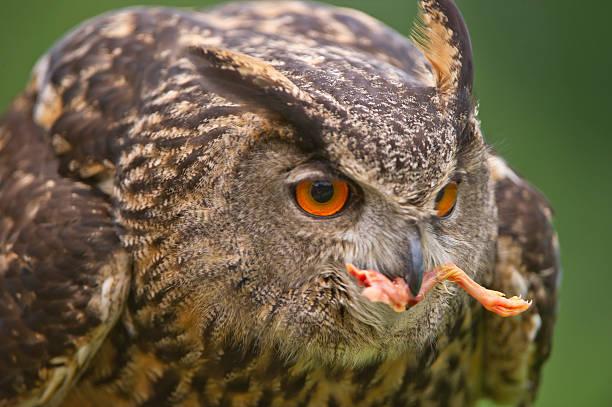 Feeding Eagle Owl stock photo