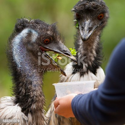 Close up of two emus being fed
