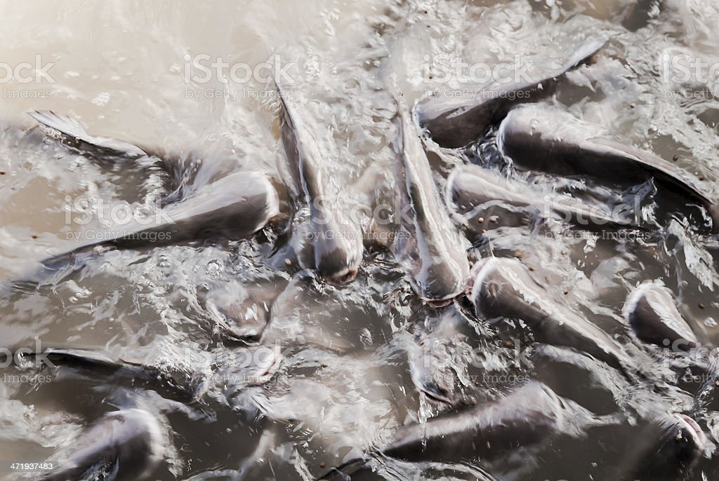 Feeding fish royalty-free stock photo