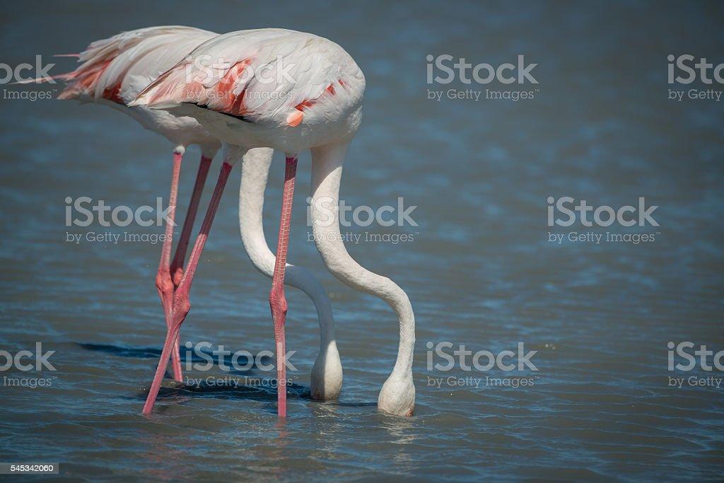 Feeding Flamingo Pair - Wild stock photo