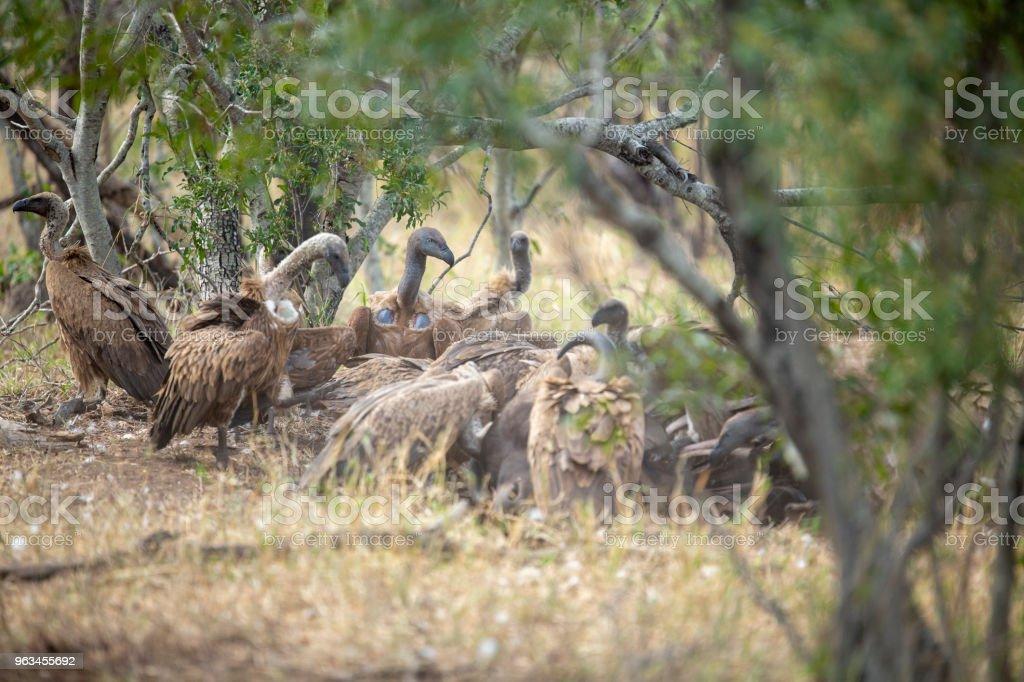 Feeding frenzy av gamar på vänster över lion döda - Royaltyfri Biosfärreservat Bildbanksbilder