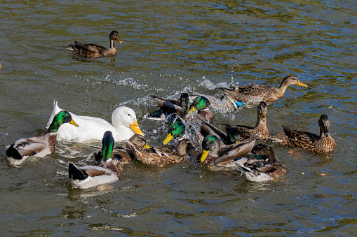 istock Feeding frenzy on the lake as mallard and pekin ducks compete for duck food 1060568706