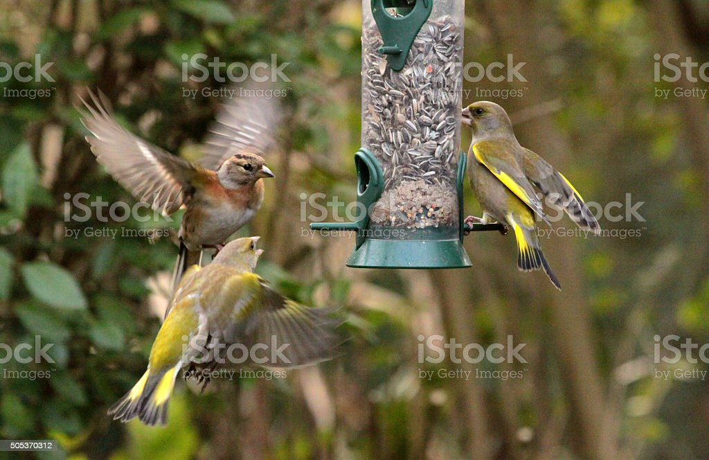 Feeding garden birds in winter: brambling and greenfinches stock photo