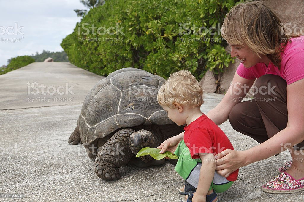 Feeding giant turtle stock photo
