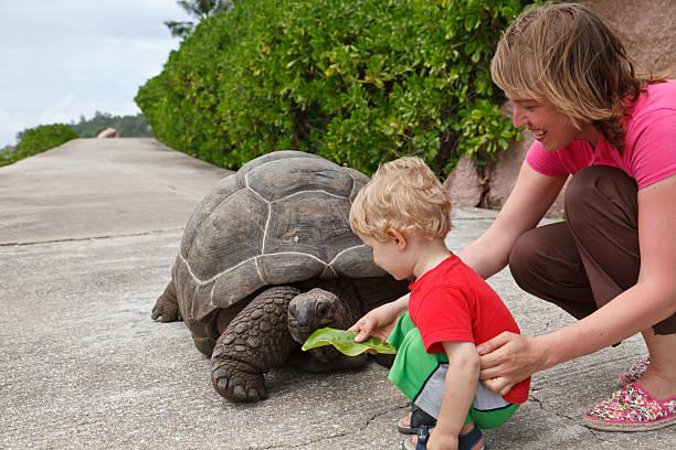 füttern-turtle - babyschildkröten stock-fotos und bilder