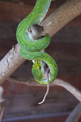 Green tree python fed with a mouse on a tree branch.