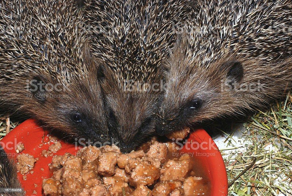 feeding hedgehogs royalty-free stock photo