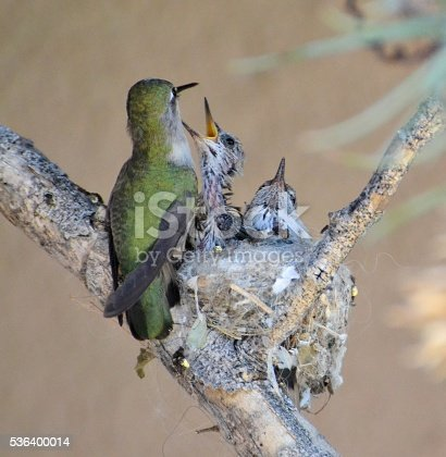 mother hummingbird feeding 2 babies in a nest