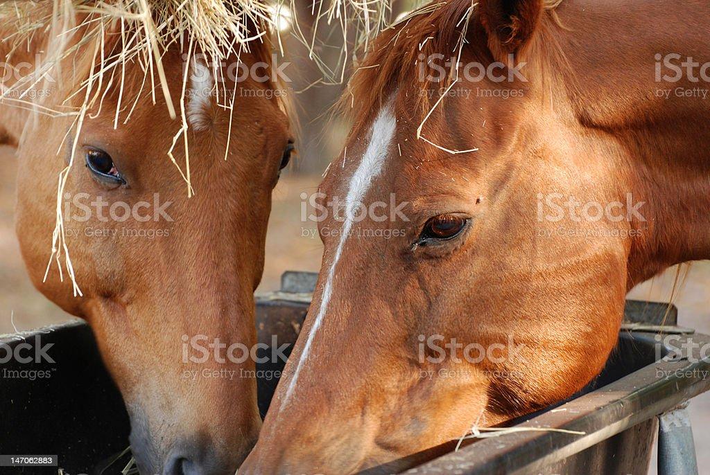 Feeding Horses royalty-free stock photo