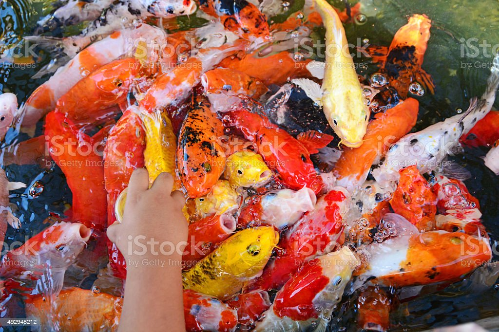 Feeding Koi Fish With Baby Milk Bottle At Indoor Ponds Stock
