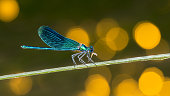 Predatory damselfly eating a caught prey. Cute blue insect with closed wings. Zygoptera, entomology. Yellow bokeh on background