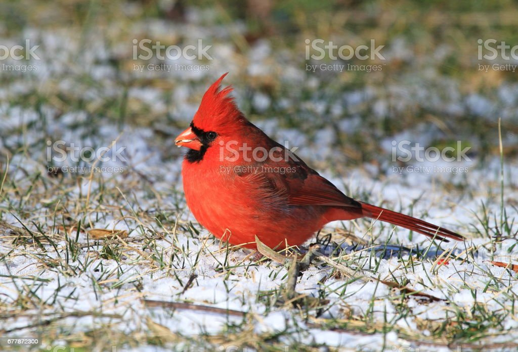 Feeding Male Northern Cardinal royalty-free stock photo