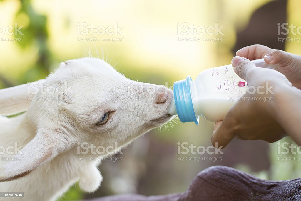 feeding milk to a baby goat royalty-free stock photo