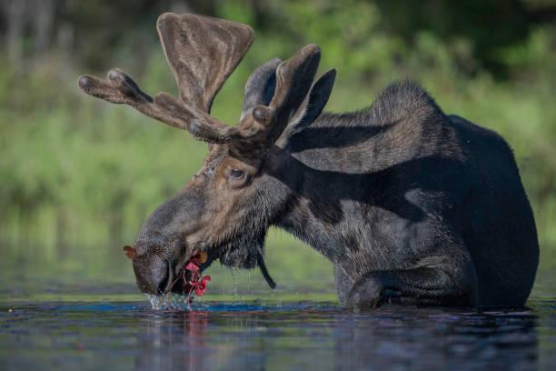 Feeding Moose stock photo