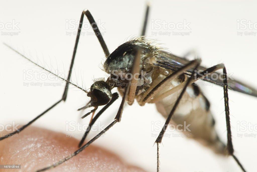 Feeding Mosquito royalty-free stock photo
