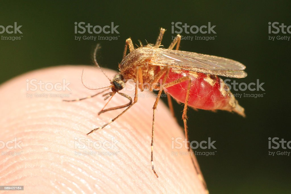 Feeding mosquito stock photo