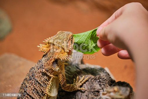 child hand while feeding a bearded dragon with garlic mustard