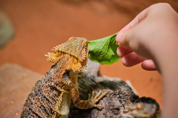 feeding of bearded dragon with herbage stock photo