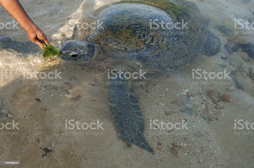 feeding of sea turtle royalty-free stock photo