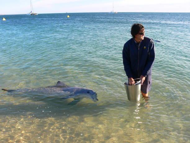 Feeding of wild dolphins at the coast of Monkey Mia stock photo