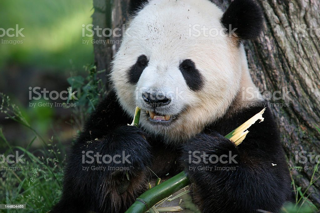 Feeding Panda 2 royalty-free stock photo