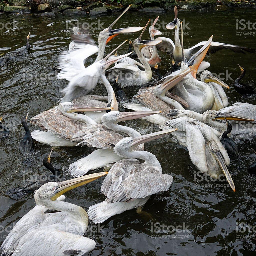 Nourrir des pelicans photo libre de droits