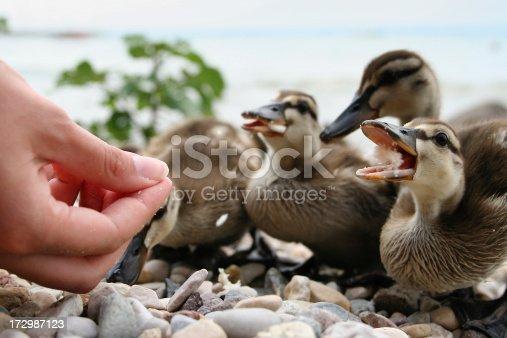 Young ducks feeding on the shore of lake Garda.