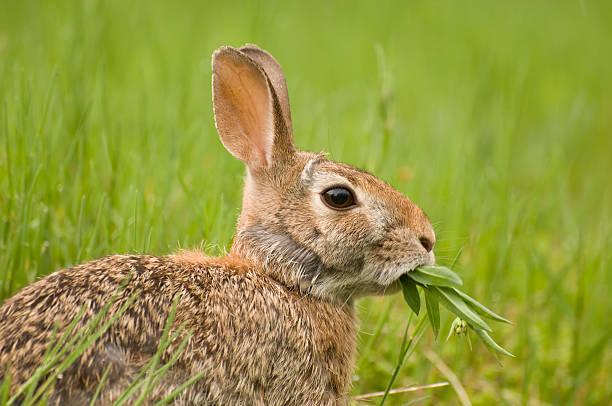 Feeding Rabbit stock photo