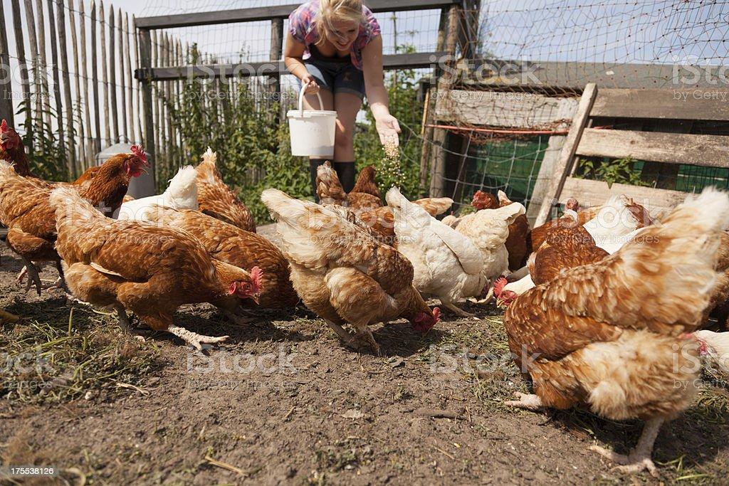 Feeding real organic brown hens stock photo