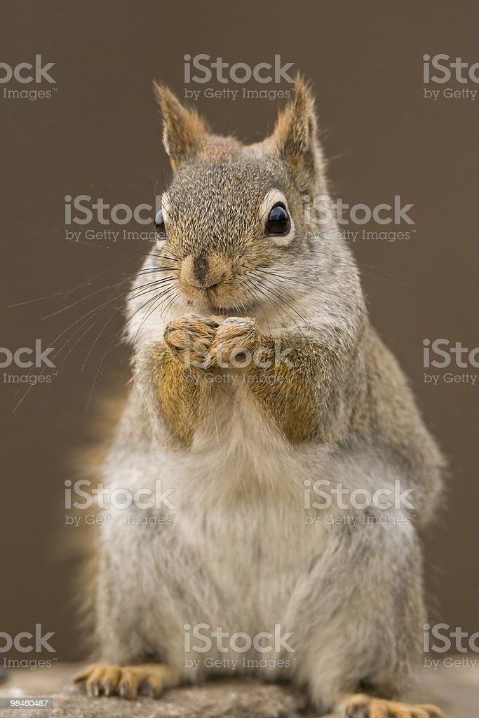 먹이기 Red Squirrel royalty-free 스톡 사진