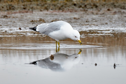 A Ring-billed Gull has grabbed a snack from the mudflat and is reflected in the water surface