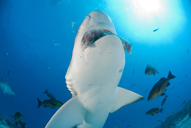 feeding shark large shark feeding pictured from below feeding frenzy stock pictures, royalty-free photos & images