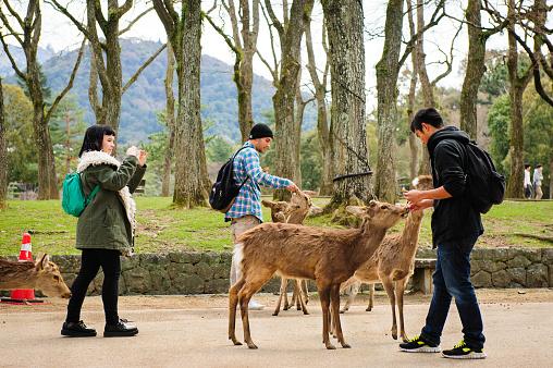 Feeding sika deers in Nara Park