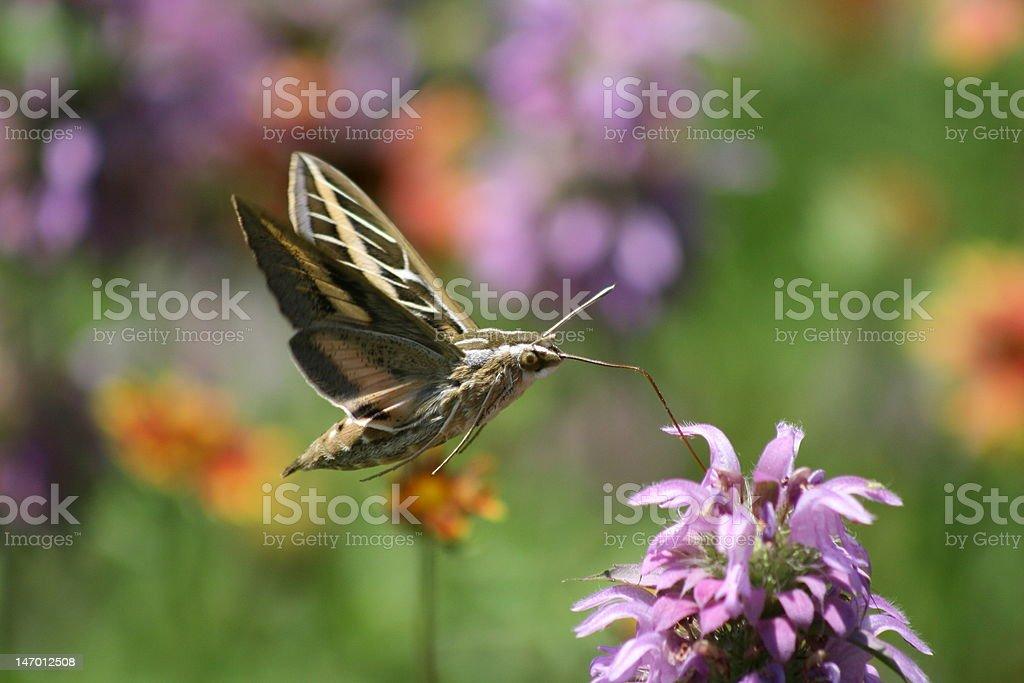 Feeding Sphinx Moth Side View stock photo
