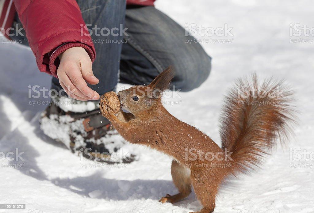 Feeding squirrel stock photo