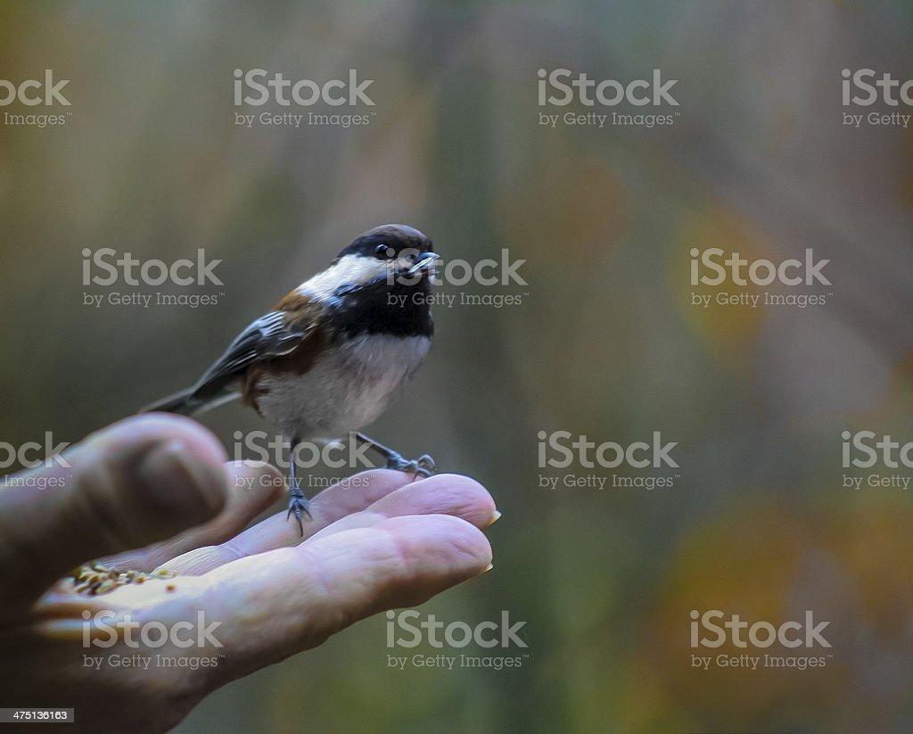 Feeding the birds royalty-free stock photo