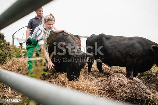 A front-view shot of a cow eating straw in a field in Northeastern England, two farmer's can be seen taking care of the cows, they are father and daughter.