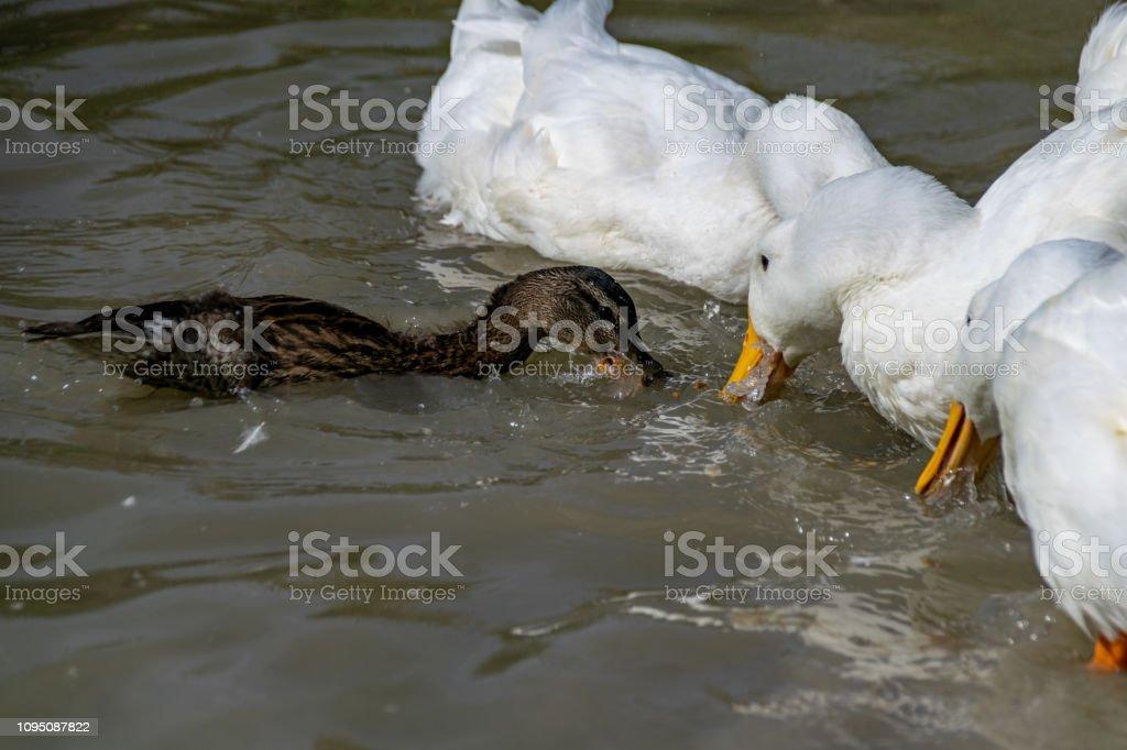 Feeding the ducks stock photo