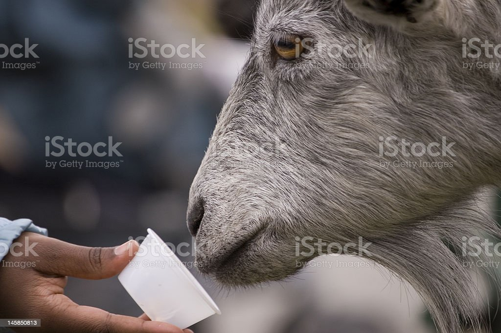 Feeding The Goat stock photo