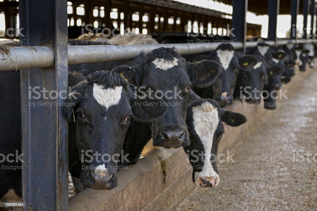 feeding the herd stock photo