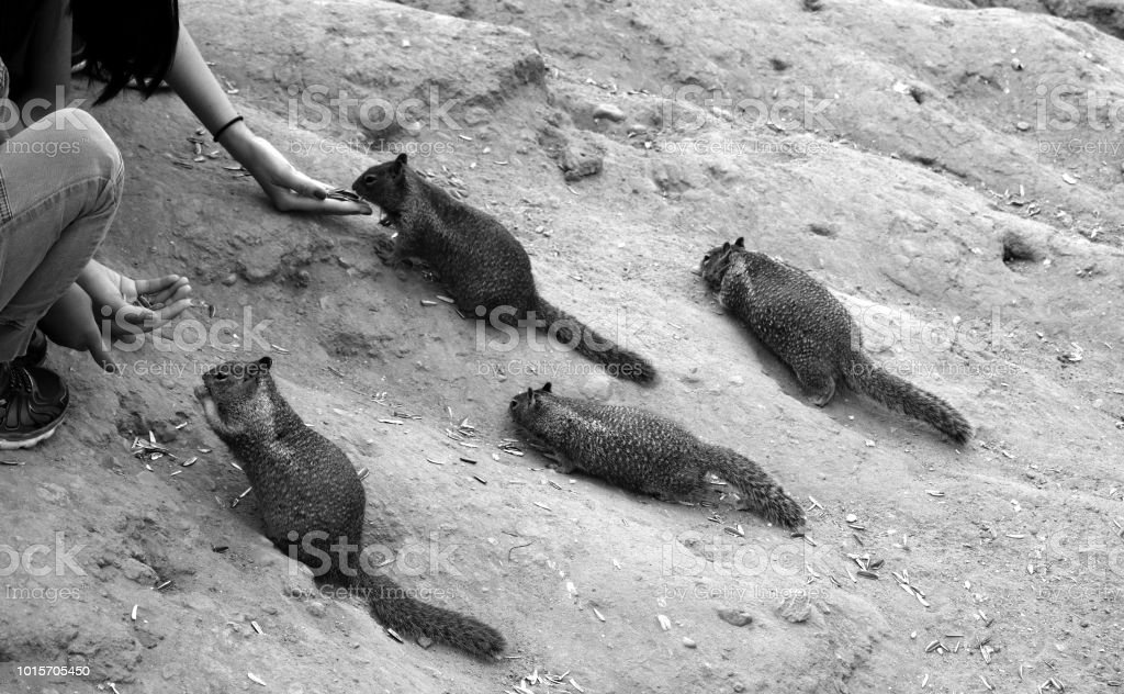 Feeding the Hungry Squirrels stock photo