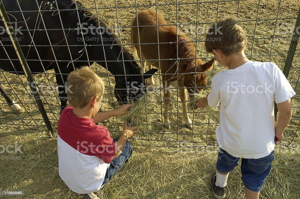 Feeding the Newborn Colt royalty-free stock photo