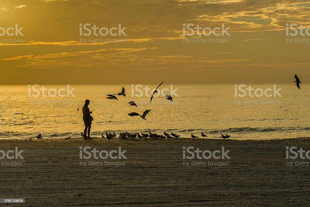 Feeding the Seagulls on the Beach at Evening Twilight A flock of Seagulls gather for a twilight feeding. Some of the Seagulls are on the beach while others are flying in to join the fun. A woman in silhouette is doing the feeding. High clouds reflect the sunset colors in this image from Siesta Key Beach, Sarasota, Florida. 2015 Stock Photo