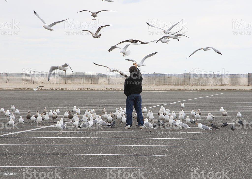 Las gaviotas lactancia foto de stock libre de derechos