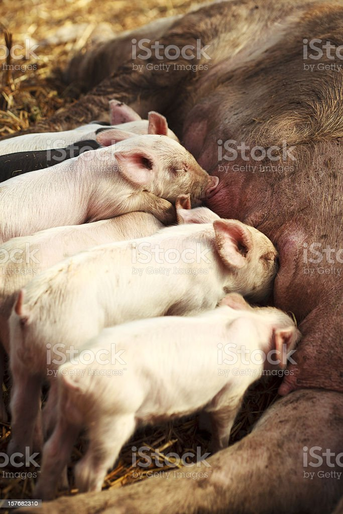 Feeding Time for Piglets royalty-free stock photo