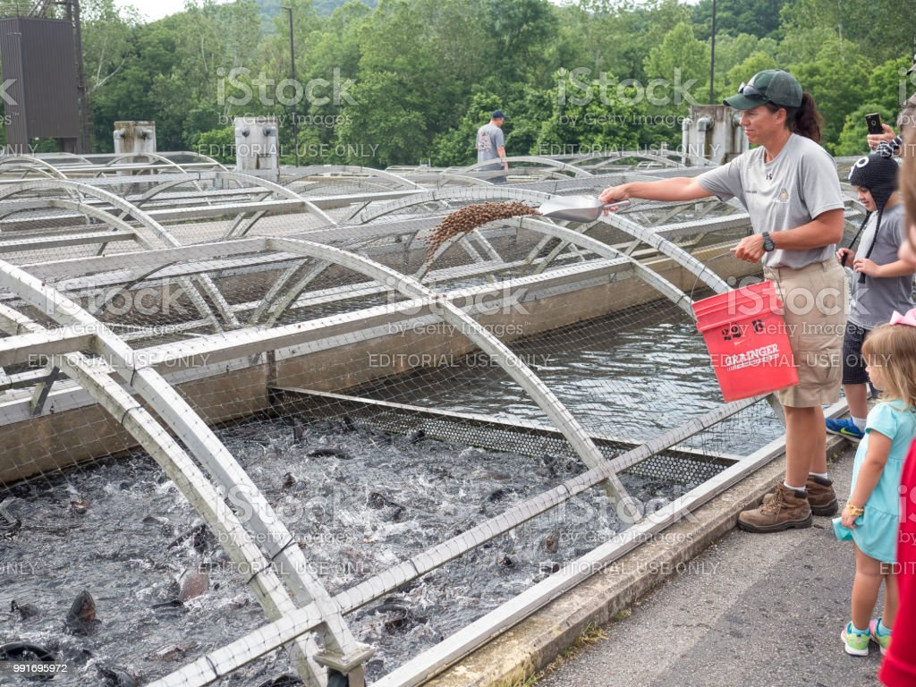 Feeding time for trout at fish farm stock photo