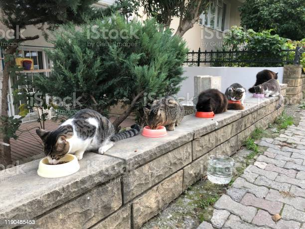 Feeding time of stray cats on the street in turkey picture id1190485453?b=1&k=6&m=1190485453&s=612x612&h=nm  lmdxd7q68xj98c rl5iol5wxcyohttnsdvcxcxy=