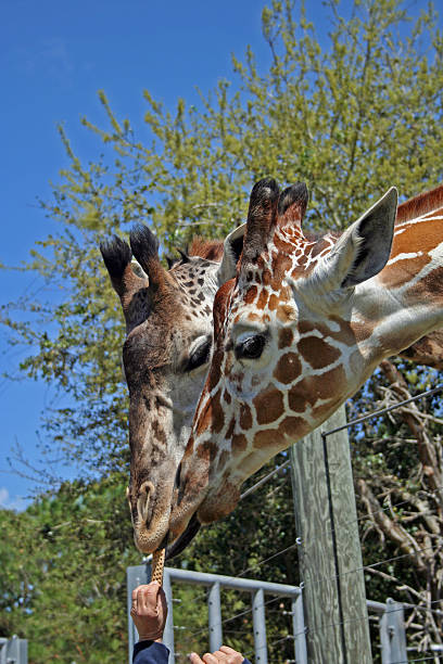 Feeding Time of Two Giraffes at the Zoo stock photo